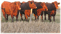 Line-up of bulls at Bender Shorthorns